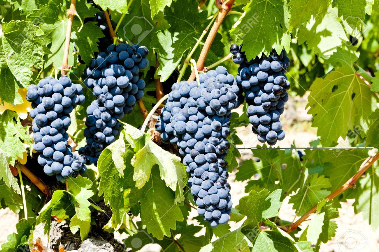 9744828-blue-grape-la-rioja-spain-stock-photo